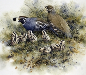 california-quail-family